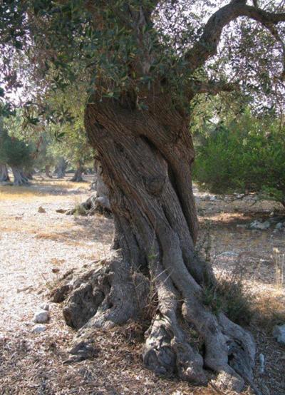 Puglia, batterio killer ulivi: è emergenza nazionale/video