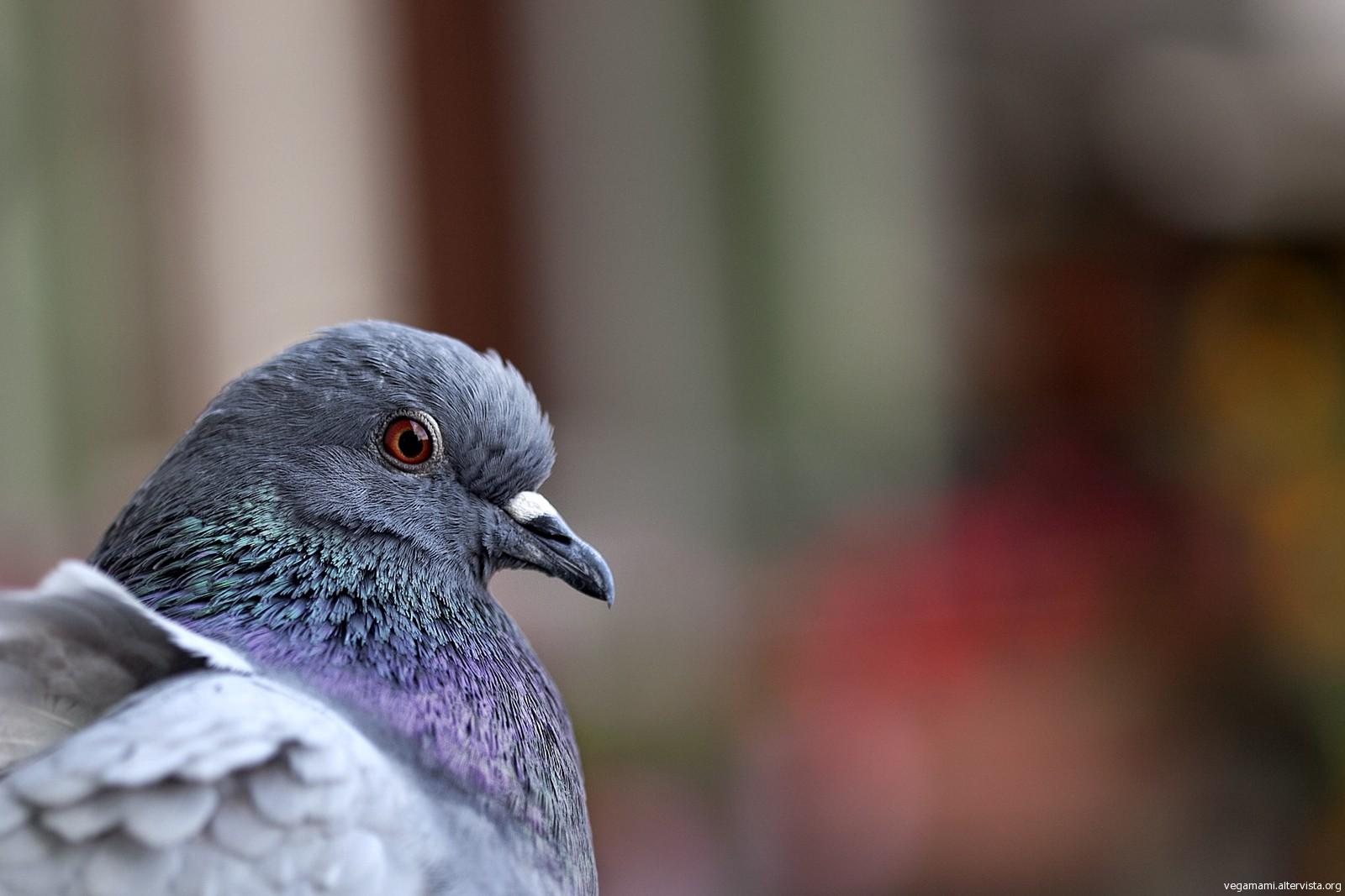 L'Aquila, anche i piccioni scappano