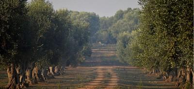 olivicoltura salentina